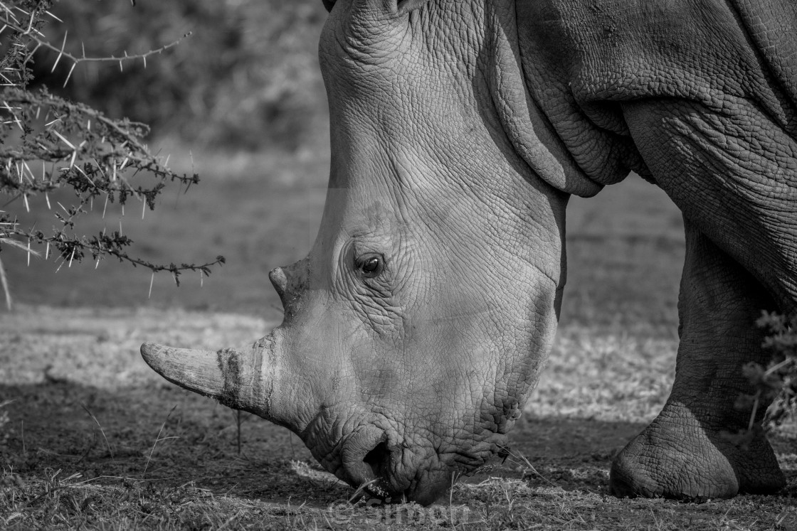 Side profile of a White rhino  - License, download or print