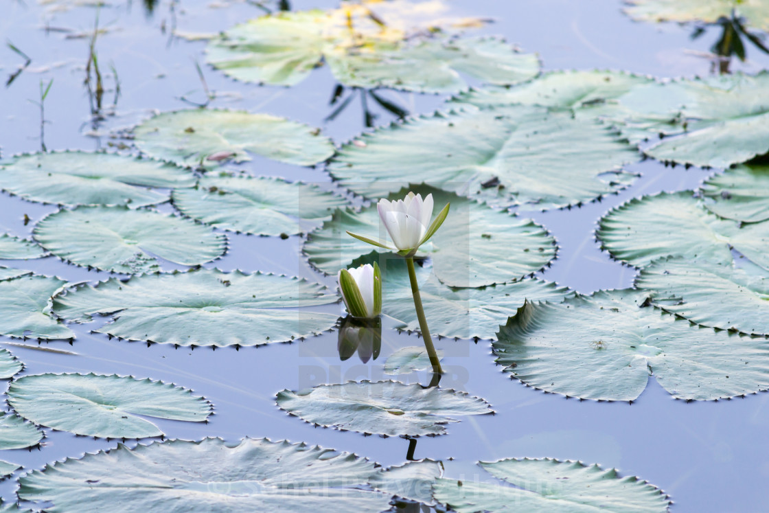 """""""Brightly Colored Water Lily or Lotus Flower Floating on Pond"""" stock image"""