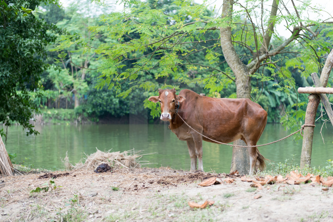 """""""Red Angus Cow"""" stock image"""