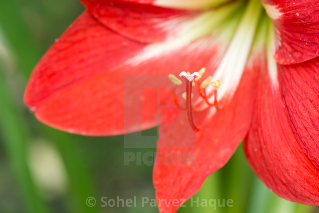 """Red Flower"" stock image"