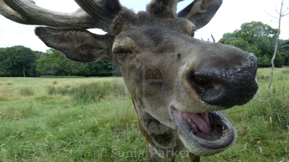 """Stag with Antlers Saying Hello"" stock image"