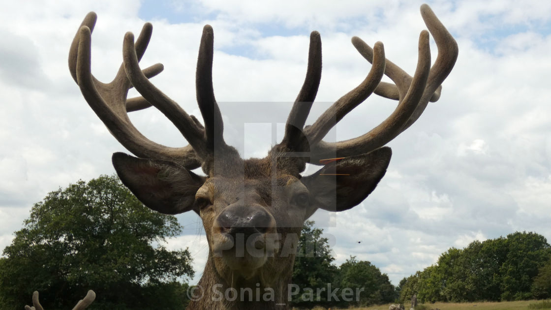 """Stag with Antlers on a Summers Day in Essex"" stock image"