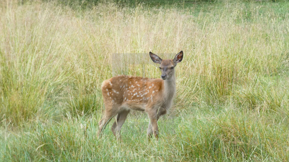 """Baby Deer in Long Grass 3"" stock image"