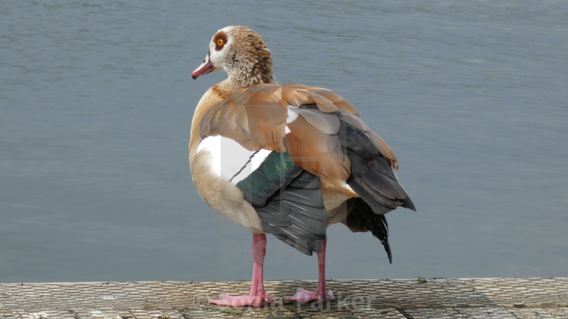 """Egyptian Goose Standing on the River Bank"" stock image"
