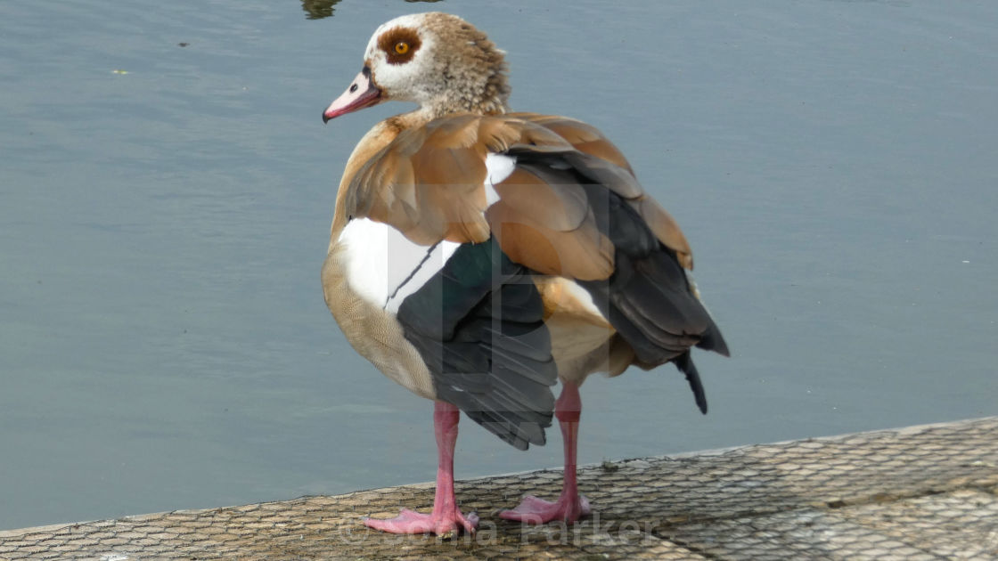 """Egyptian Goose Standing on the Dock of the Bay"" stock image"