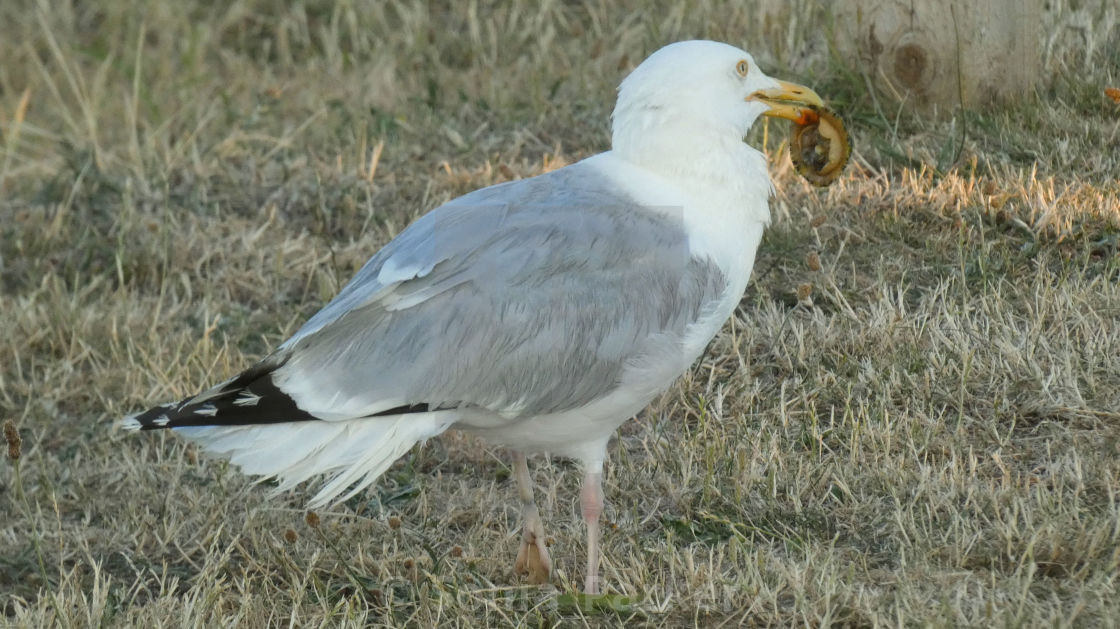 """Seagull with a Clam Shell in its Beak 2"" stock image"