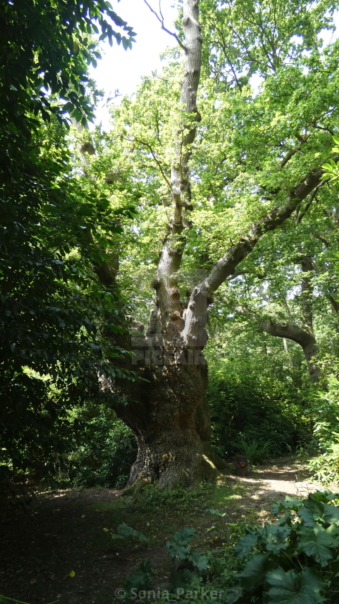 """The Queen Oak of Norfolk 2"" stock image"