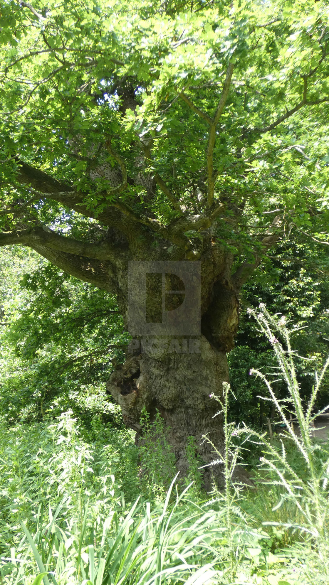 """The King Oak of Norfolk 2"" stock image"