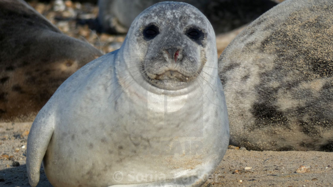 """Grey Seal Close Up on Beach"" stock image"