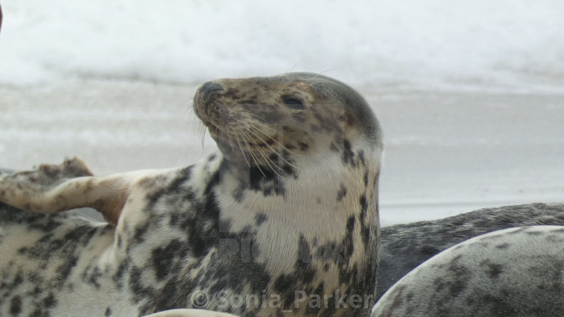 """Grey Seal on the Beach 2"" stock image"