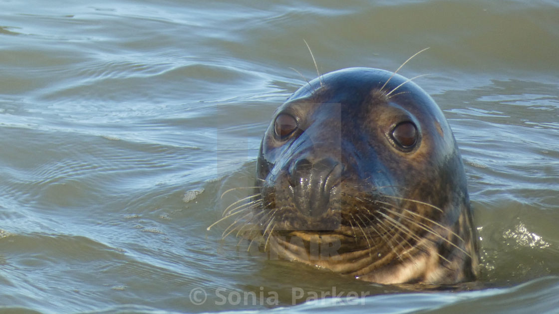 """Seal Having Fun in the Sea 2"" stock image"