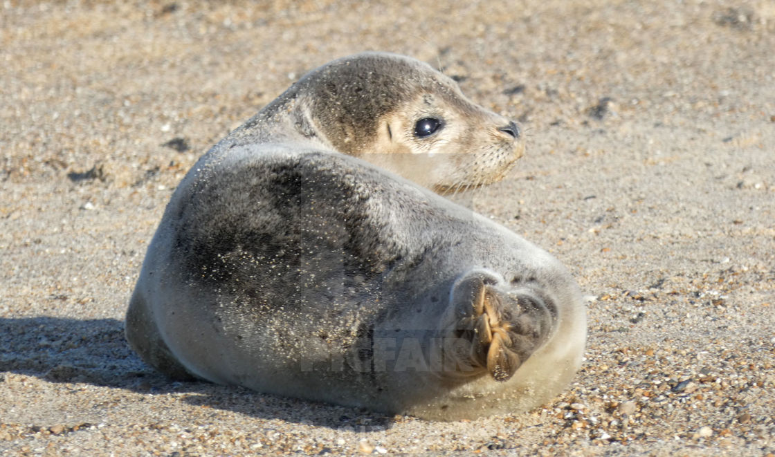 """Seal Baby on the Beach"" stock image"