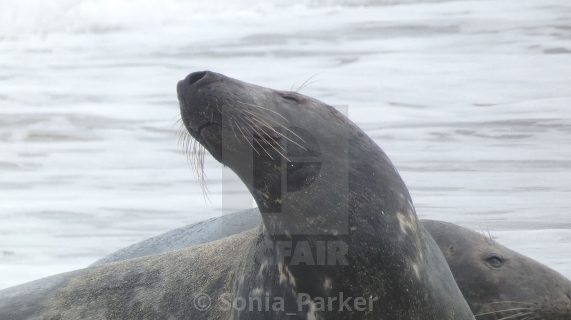 """Seal Enjoying time on the beach"" stock image"