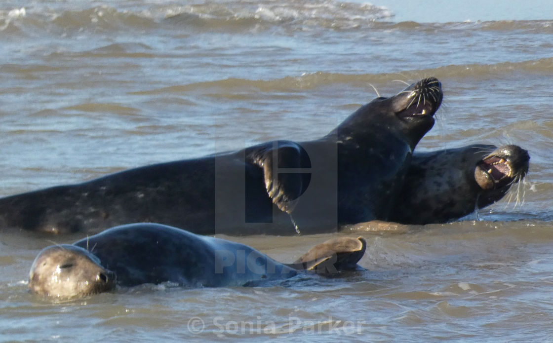 """Seals Happy and Laughing in the Sea"" stock image"
