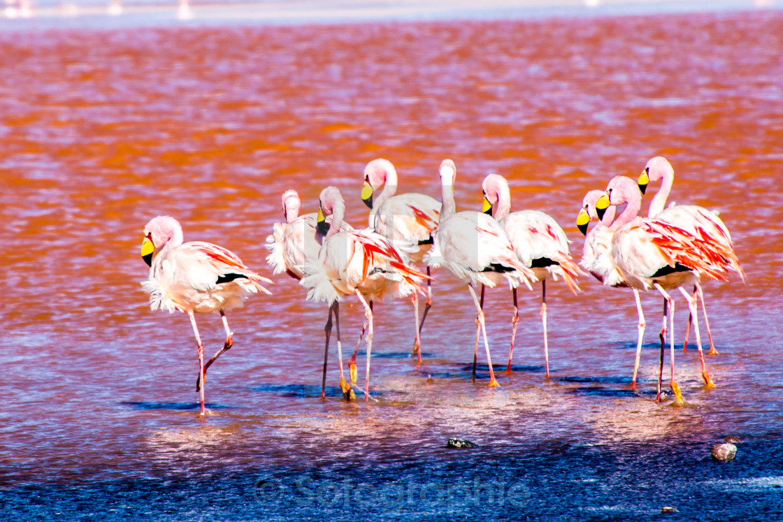 """Flamingos"" stock image"