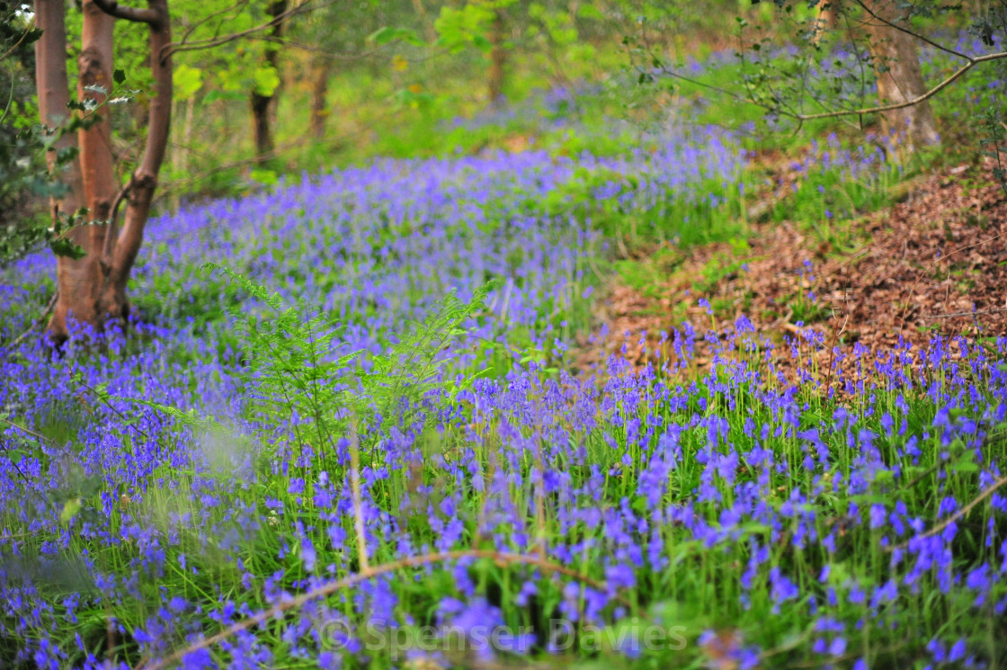 """Bluebellwood"" stock image"