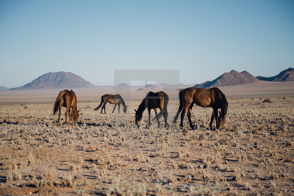 """The Wild Horses of Garub"" stock image"
