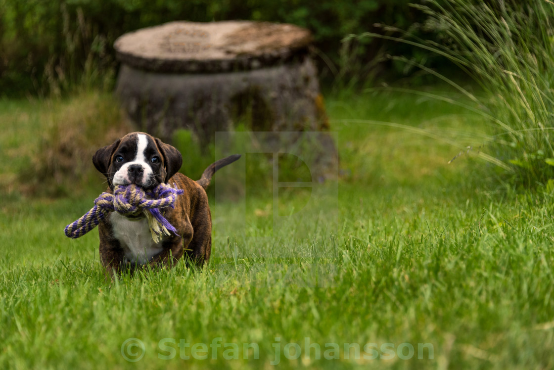 """Boxer puppy"" stock image"