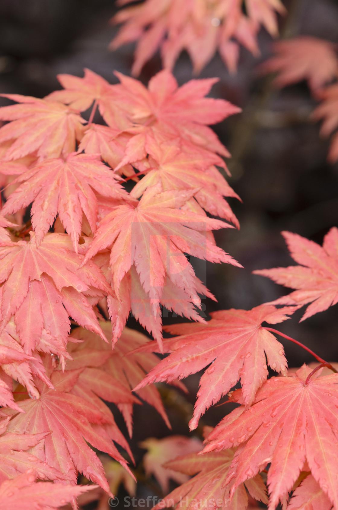 Shirasawas Maple Acer Shirasawanum Autumn Moon License