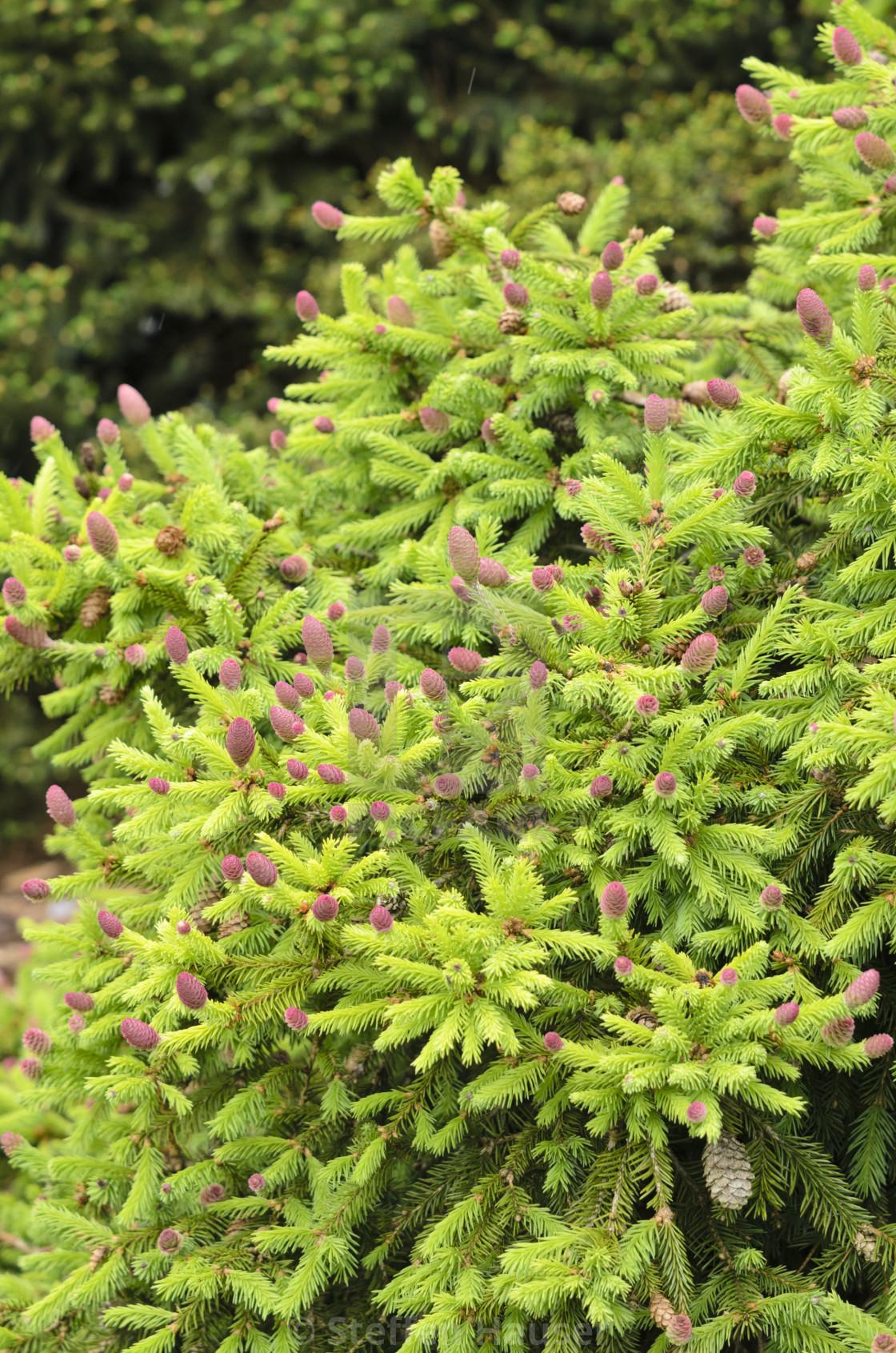 Dwarf Common Spruce Picea Abies Acrocona Push Syn Picea Abies
