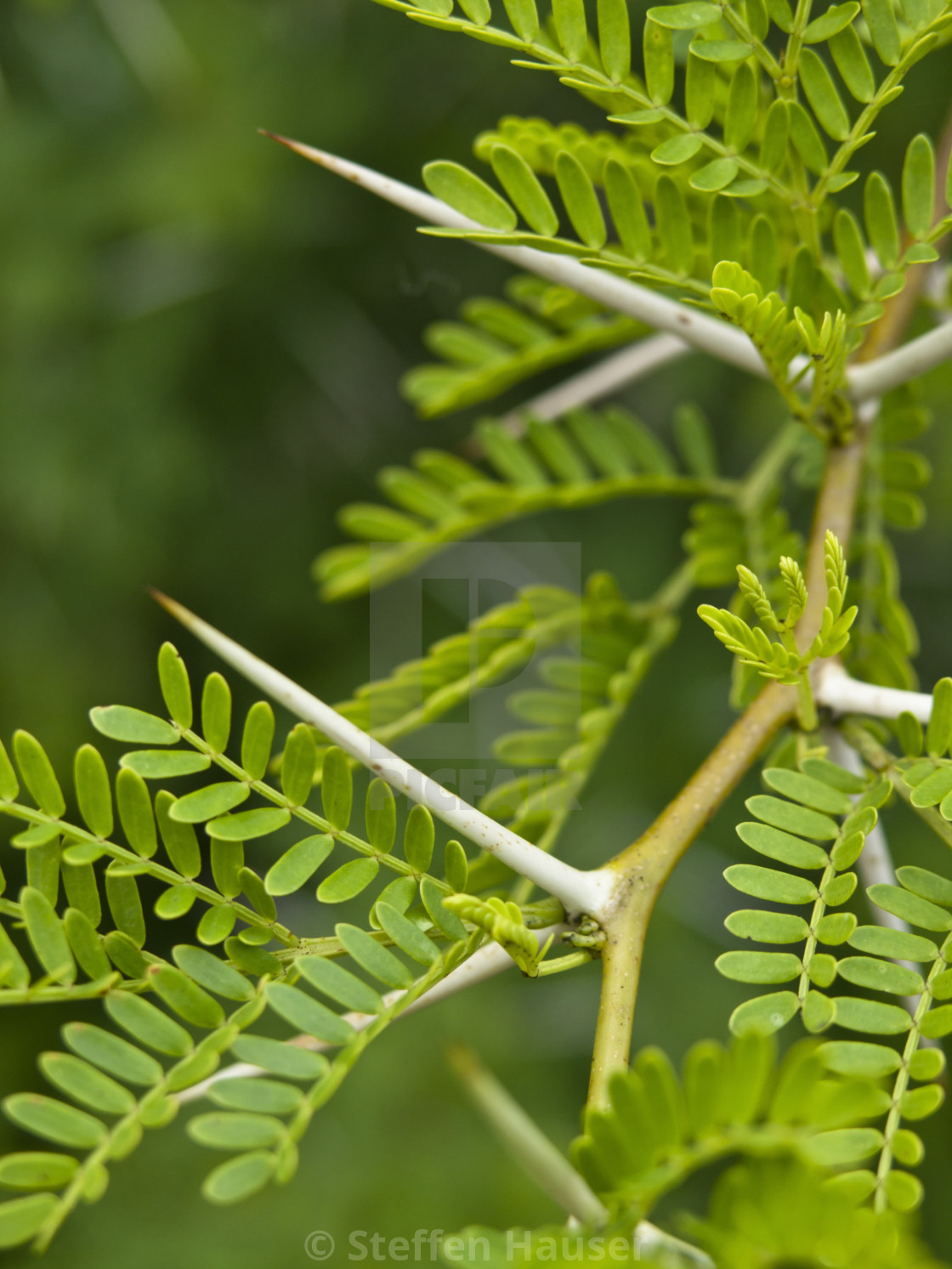 Sweet Thorn Acacia Karroo License Download Or Print For 4340
