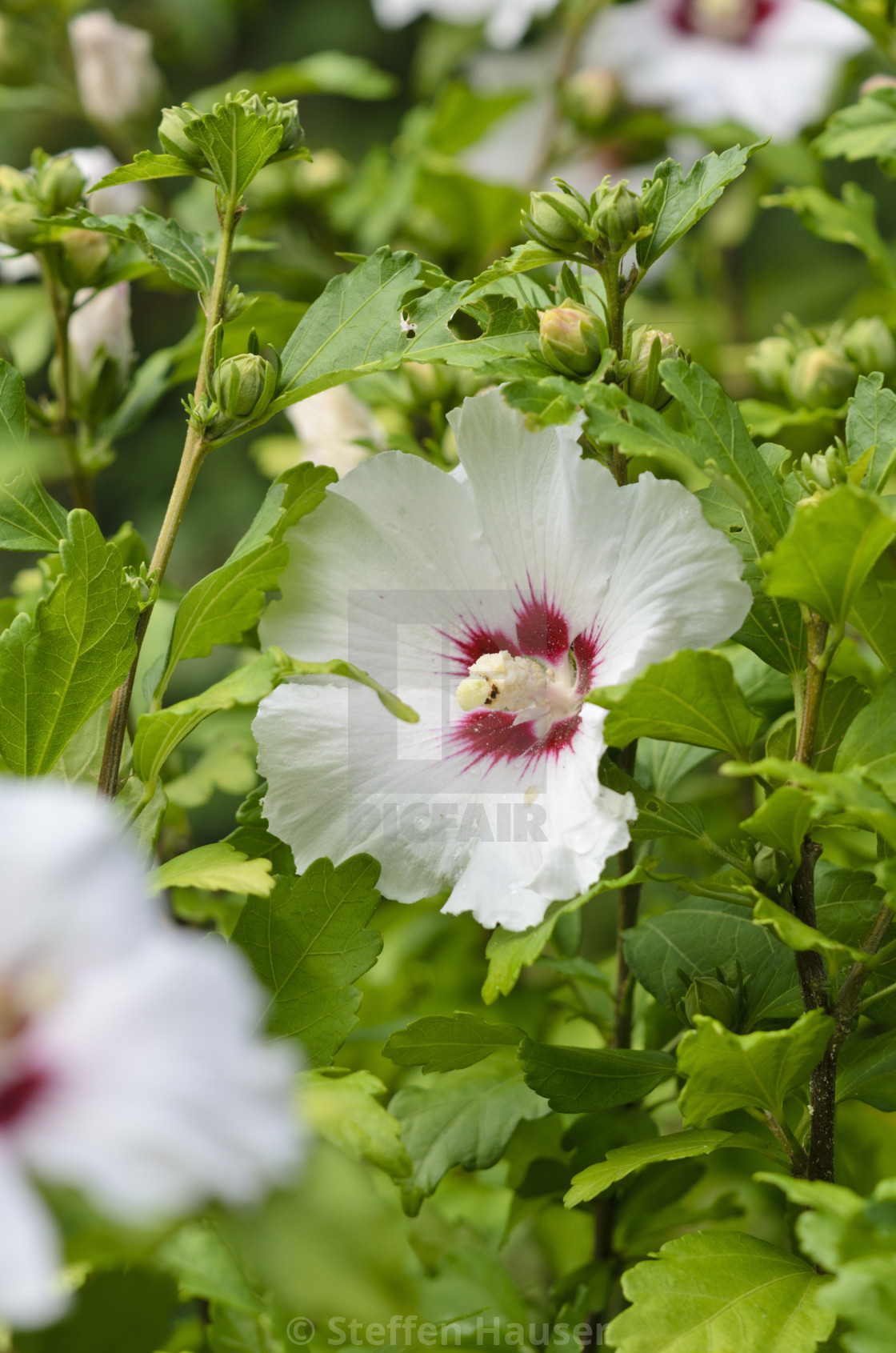 Common Hibiscus Hibiscus Syriacus Red Heart License Download