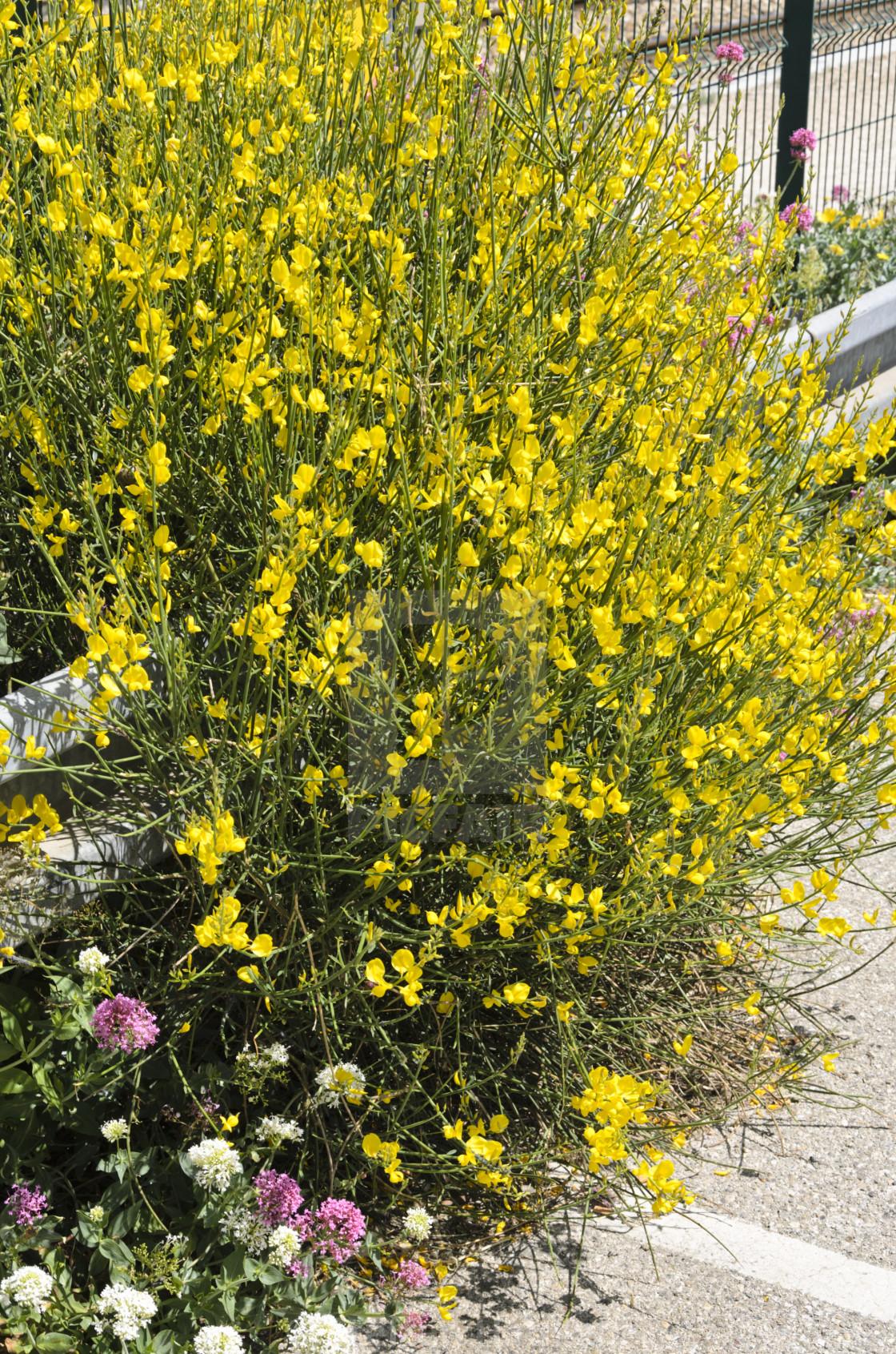 Spanish Broom Spartium Junceum License Download Or Print For 43 40 Photos Picfair
