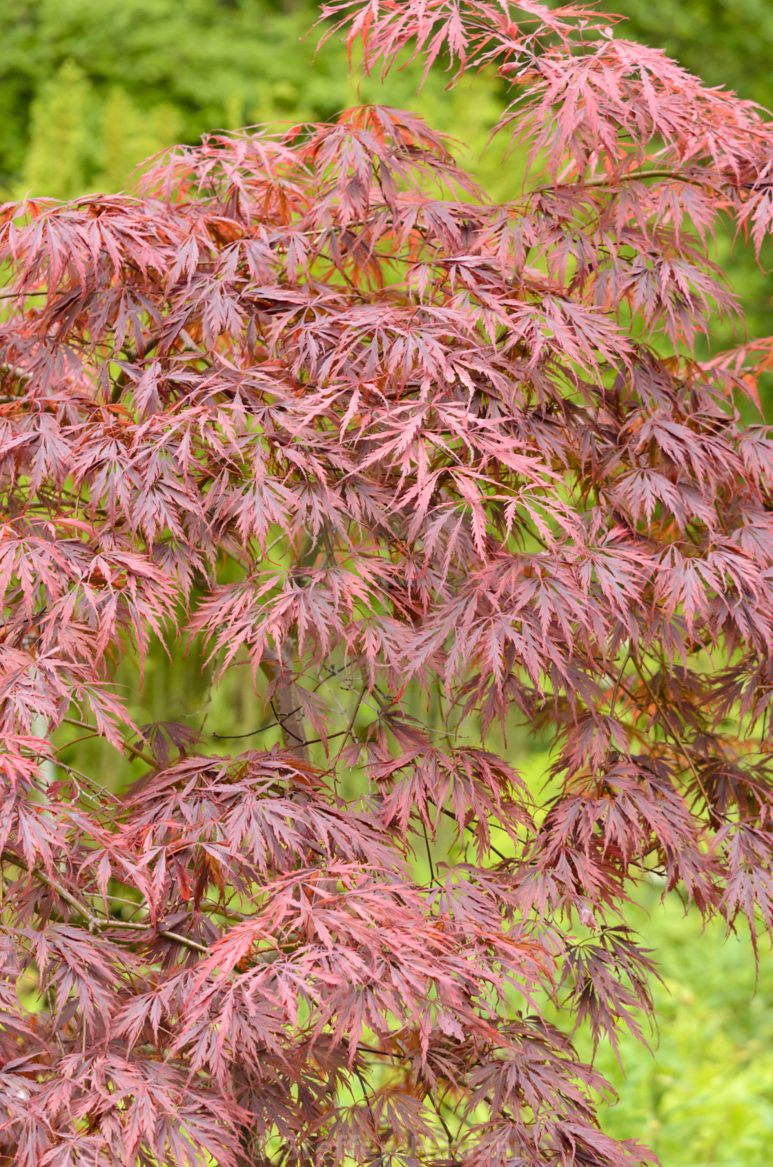 Japanese Maple Acer Palmatum Dissectum Tamukeyama License