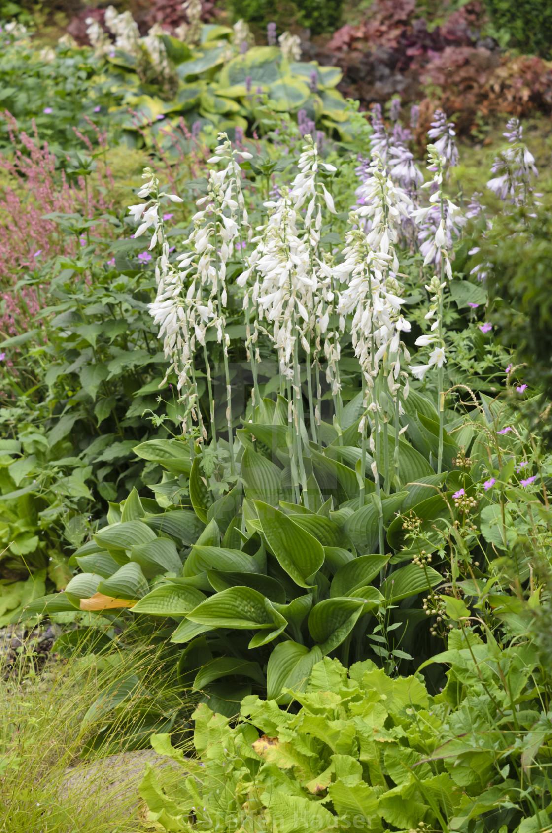 Plantain Lily Hosta Nigrescens Krossa Regal License Download