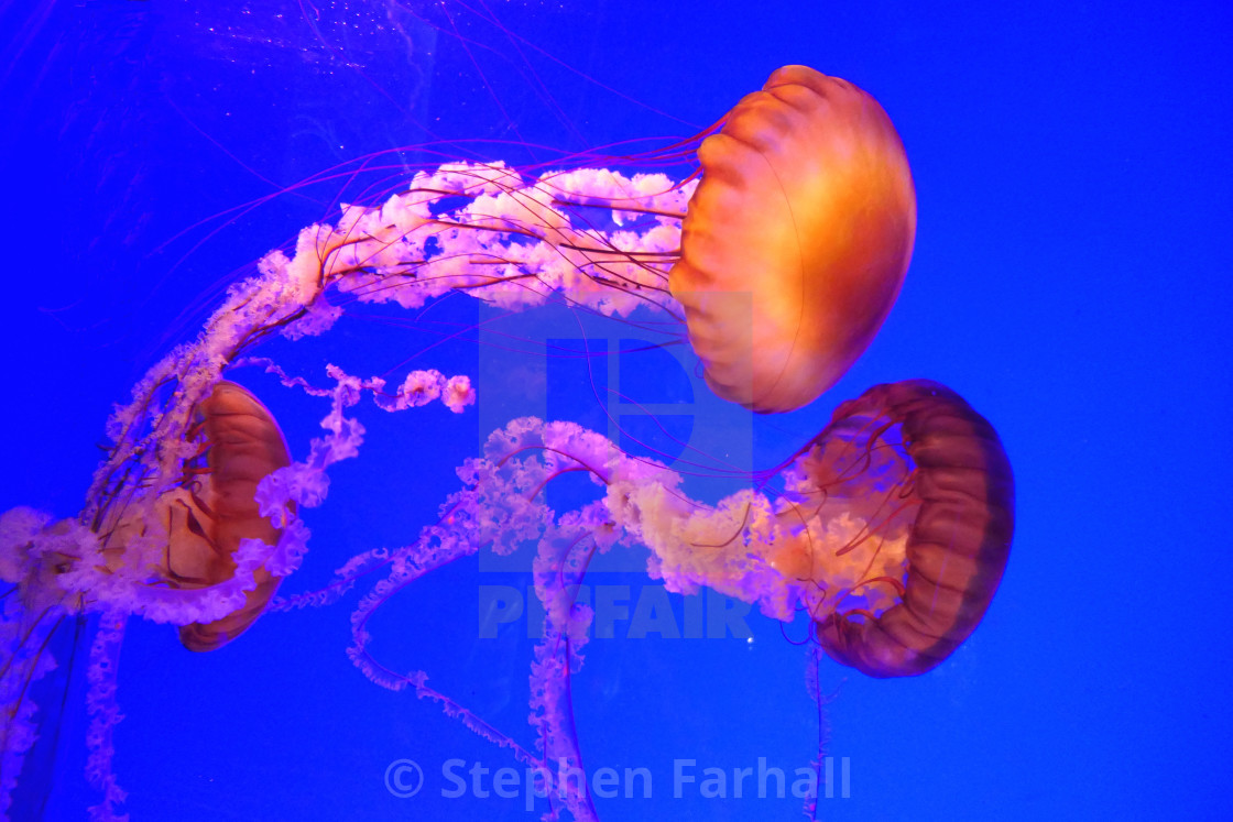 """""""The Pacific Sea Nettle Jellyfish"""" stock image"""