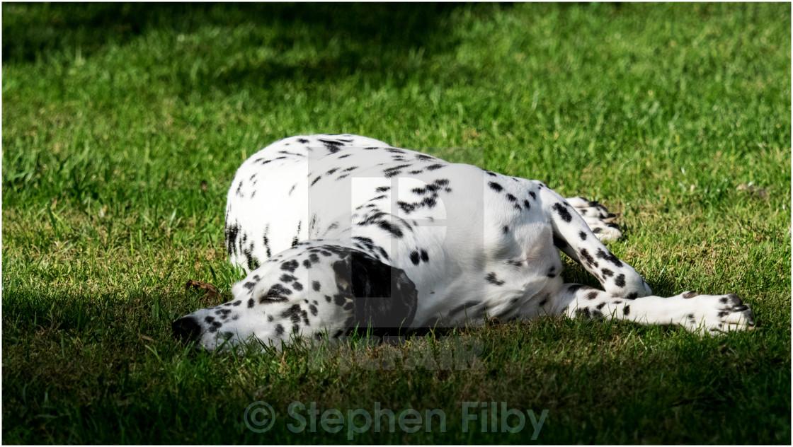 """Dalmatian dog"" stock image"