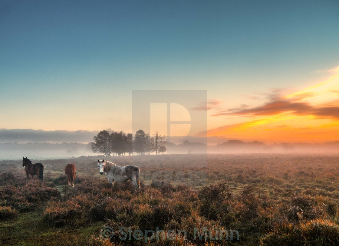 """New Forest Ponies at Dawn"" stock image"