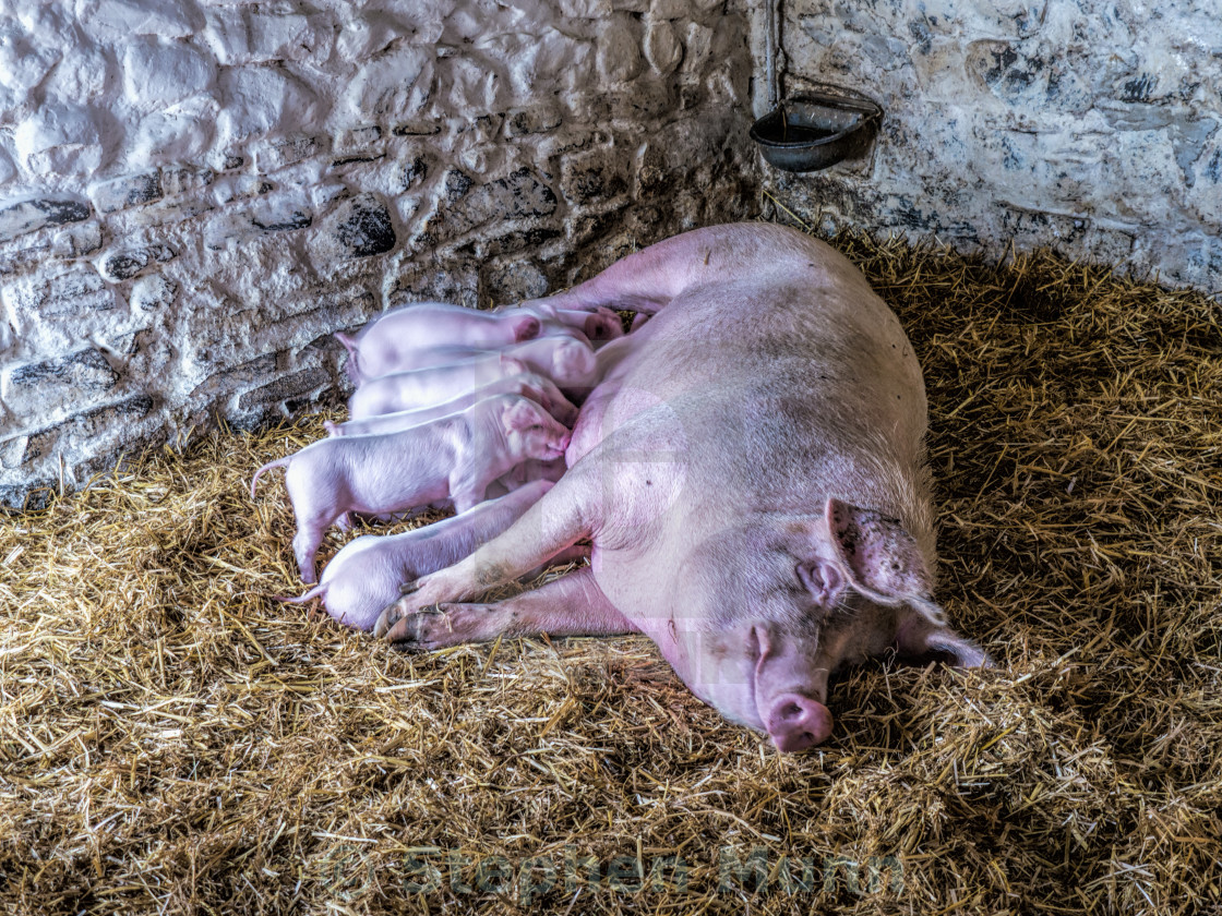 """Piglets suckling"" stock image"