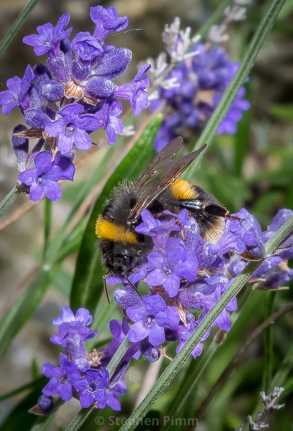 """Bee on Lavendar"" stock image"