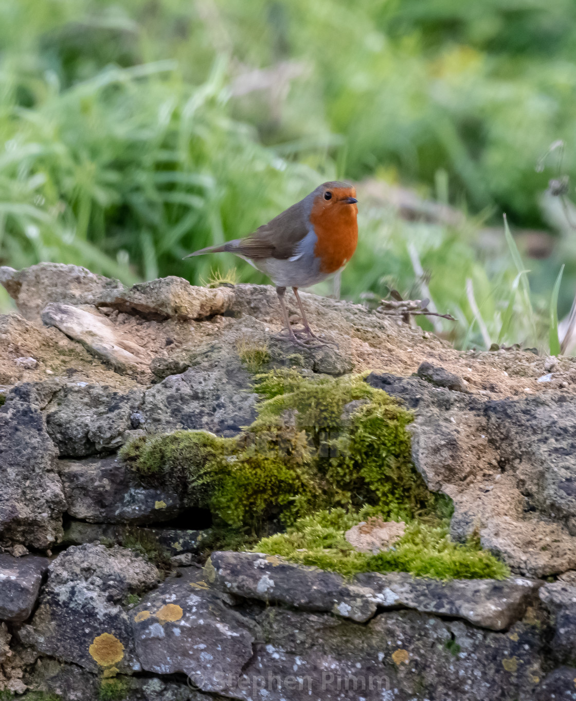 """""""Robin on a wall"""" stock image"""