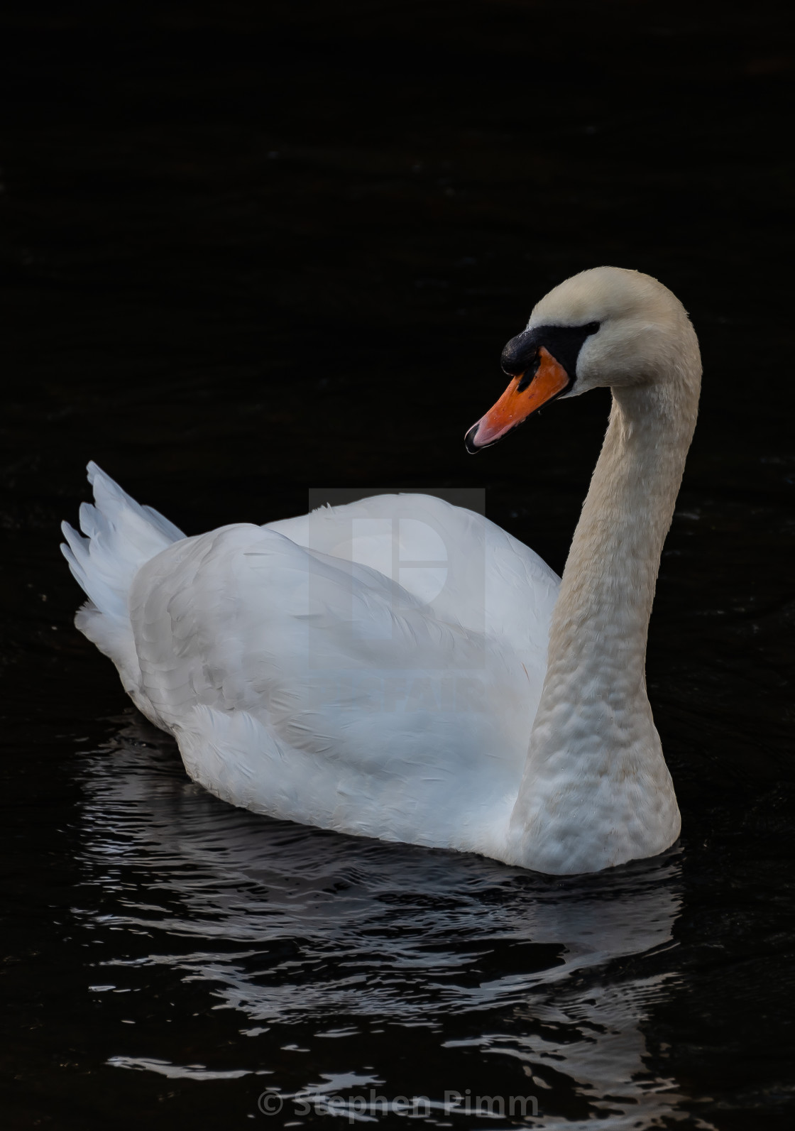 """Swan on the river"" stock image"