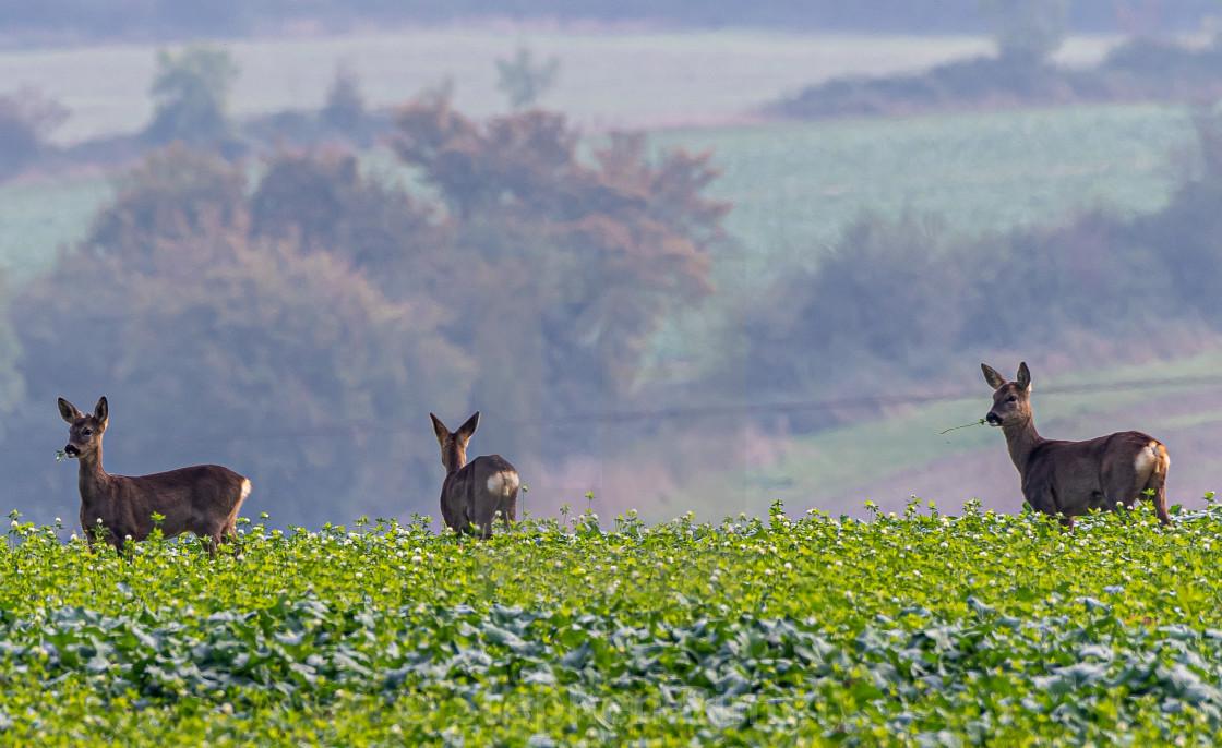 """Deer in the field"" stock image"