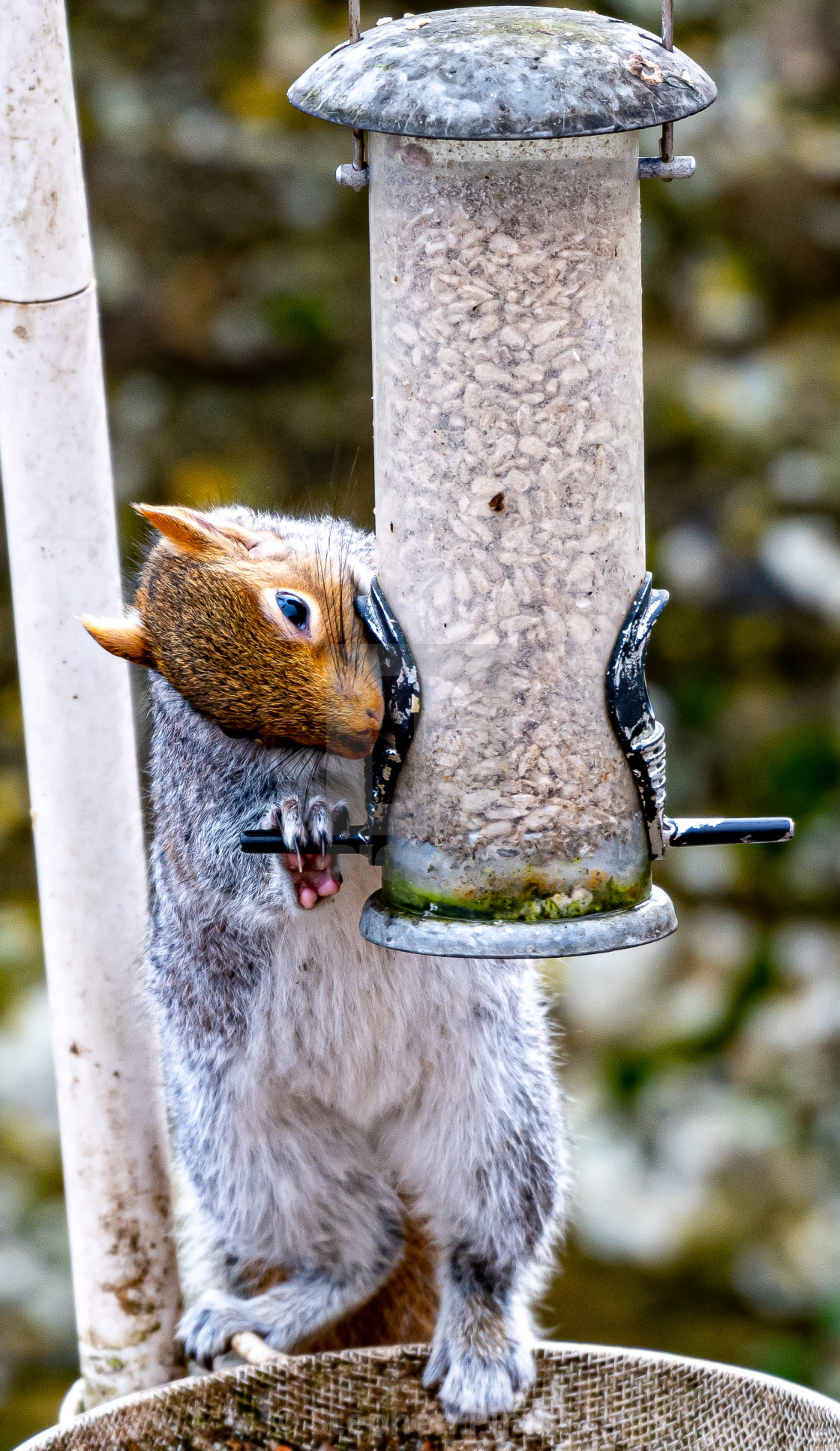 """Grey Squirrel on the feeder"" stock image"