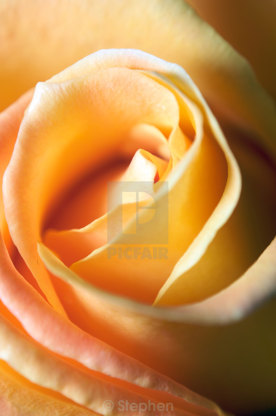 """Vertical close up of a yellow rose with very shallow depth of fi"" stock image"