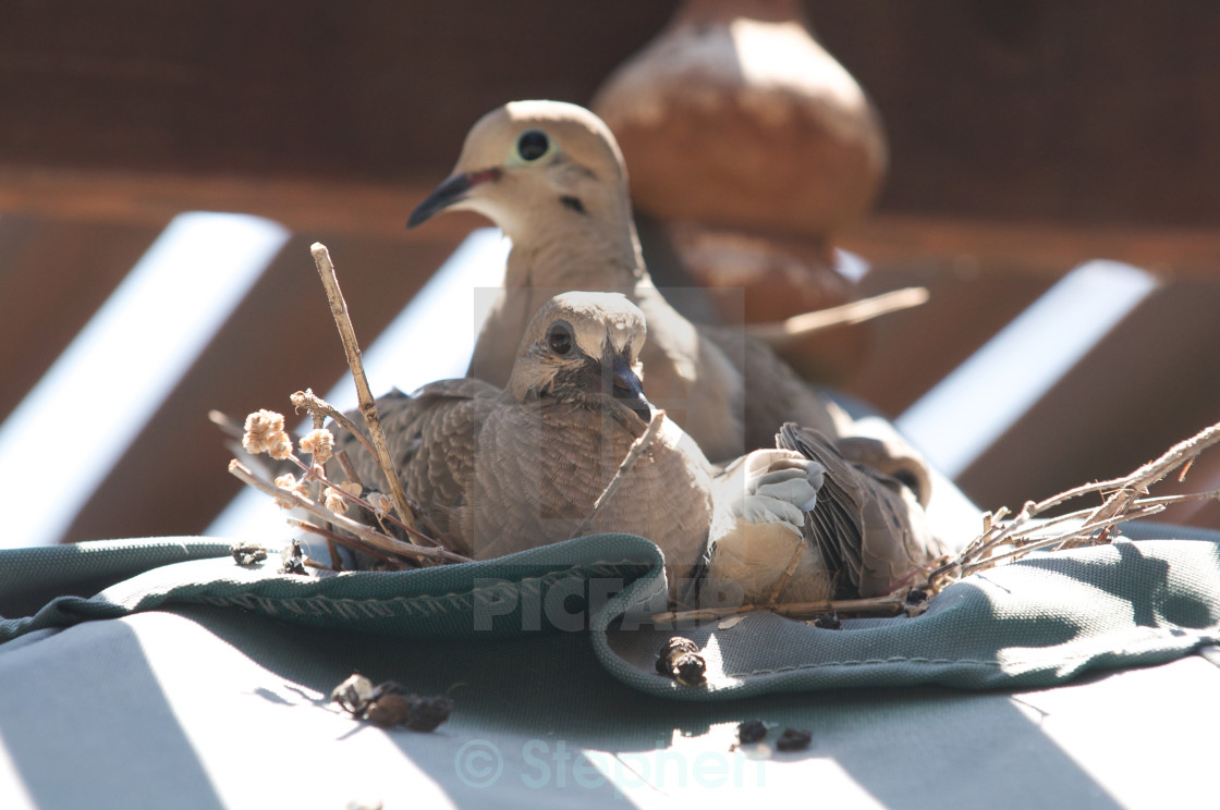 """Dove sits on its nest with its two babies, facing left"" stock image"