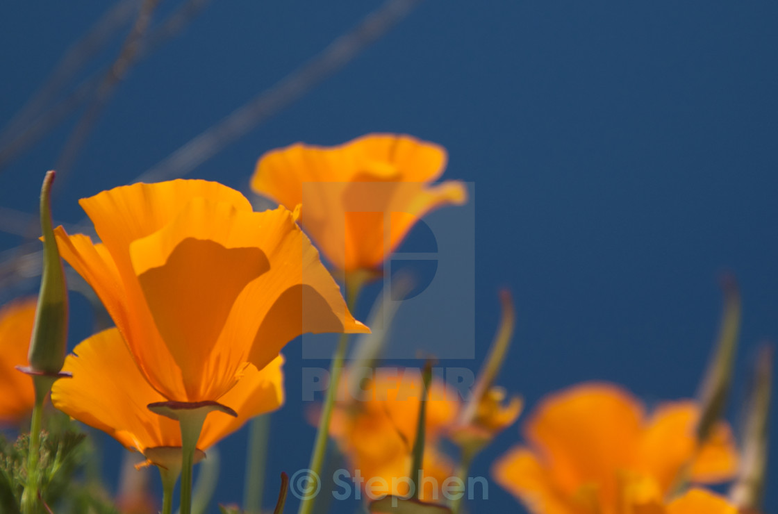 Close Up Of Orange Poppy Flowers License For 618 On Picfair
