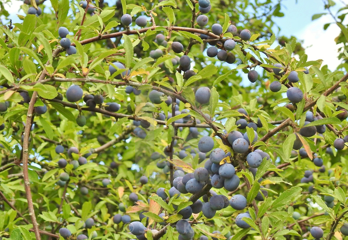 """Sloe for Gin."" stock image"