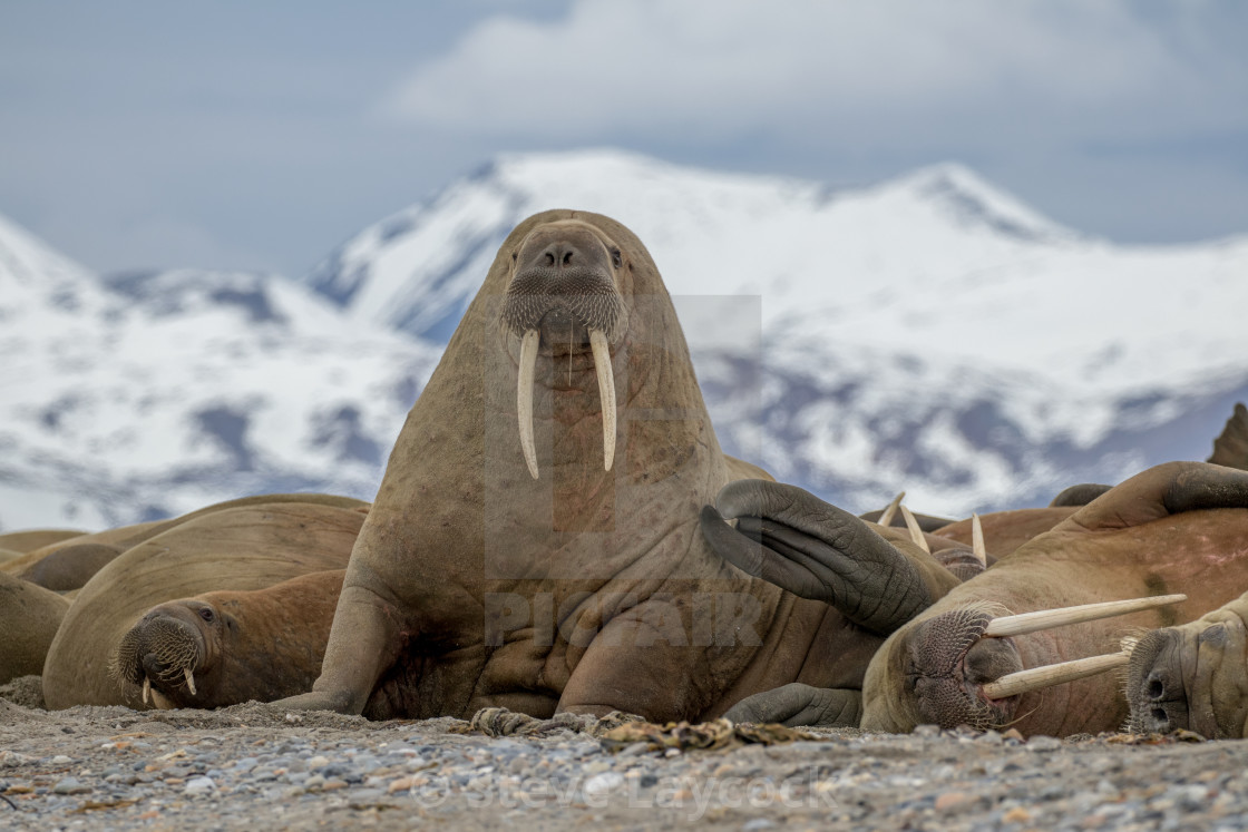 """Walrus with long tusks, mountain background"" stock image"
