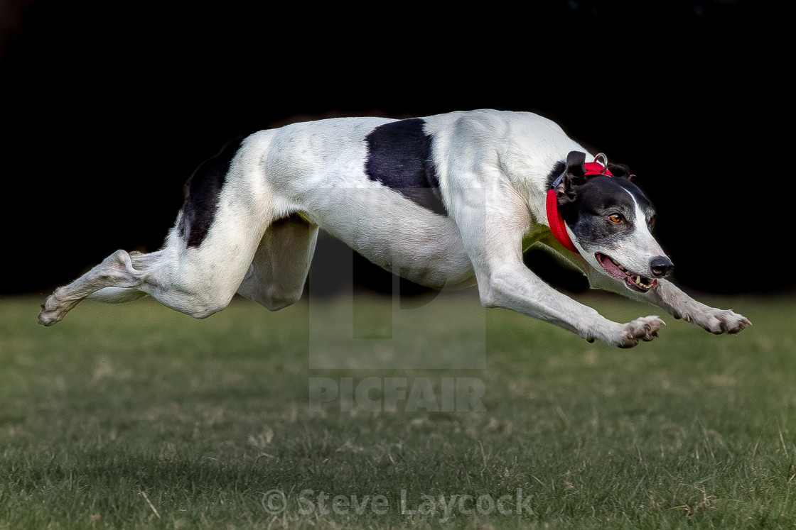 """greyhound running"" stock image"