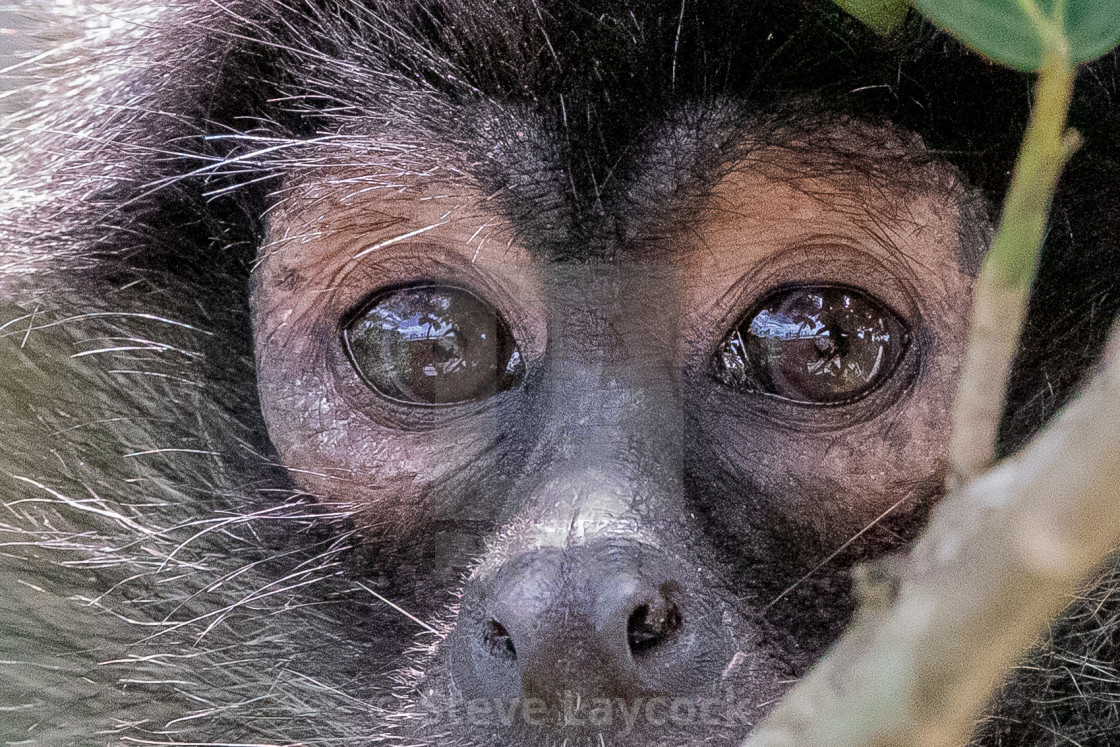 """spider monkey close up"" stock image"