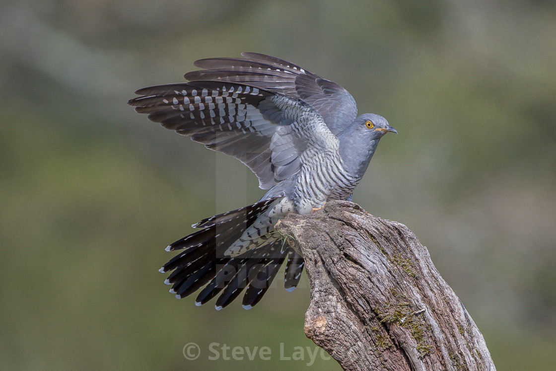 """European Common cuckoo; Colin at Thursley Common"" stock image"