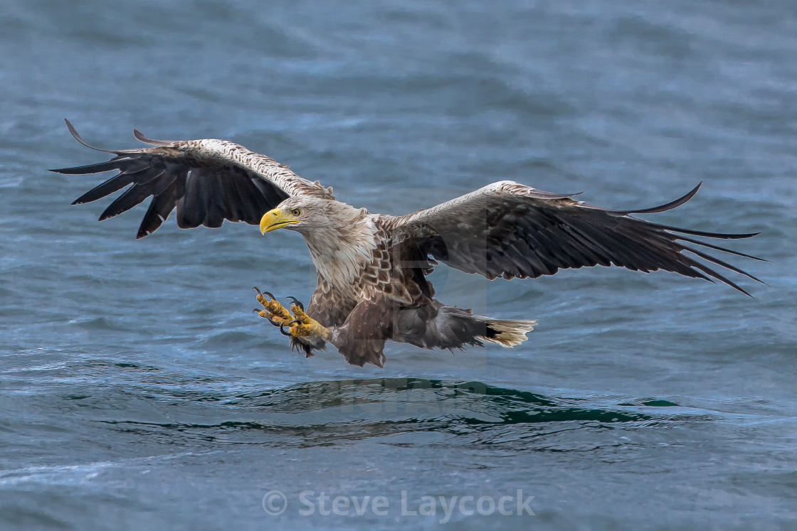 """White tailed eagle Haliaeetus albicill"" stock image"