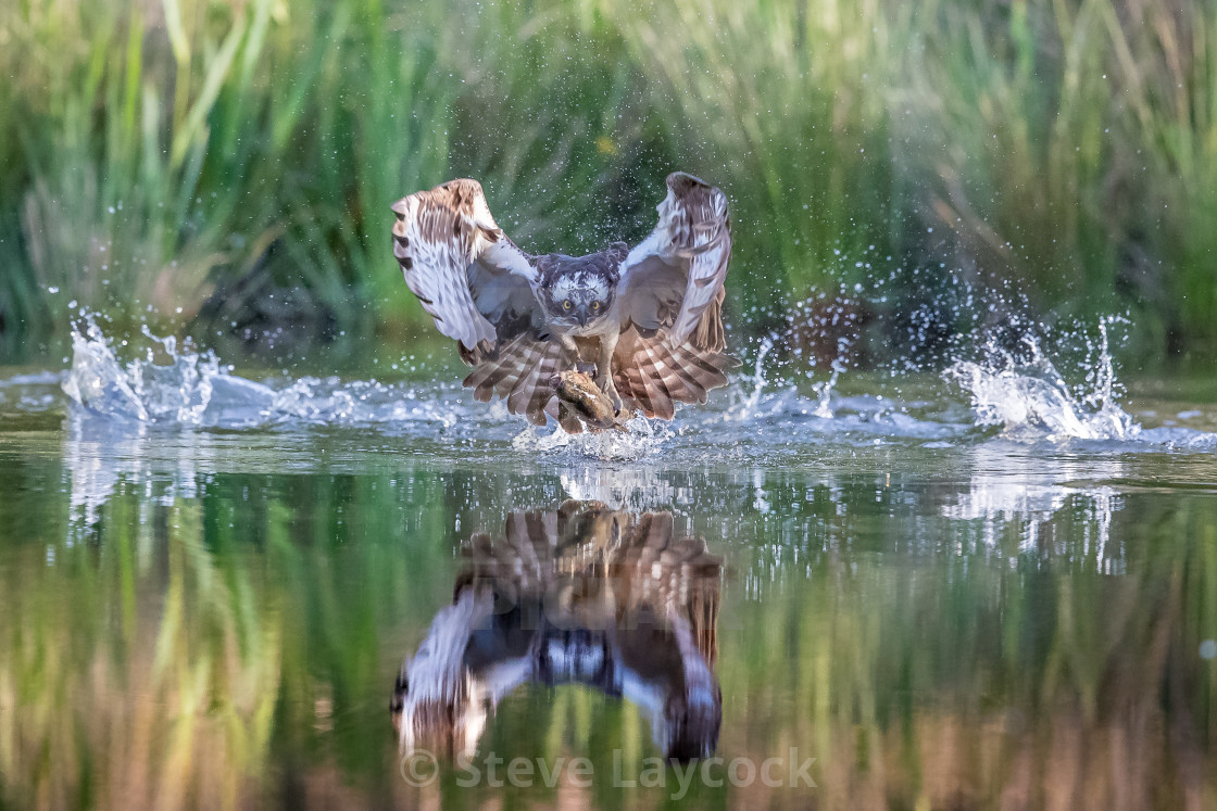 """Osprey fishing with trout , and reflection in water"" stock image"