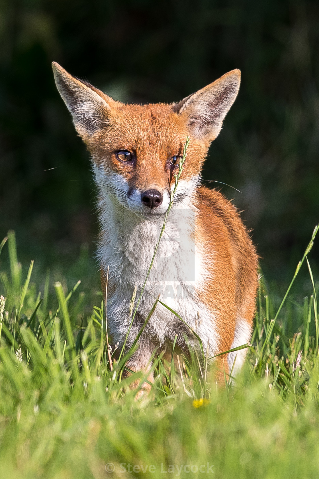 """European red fox cub"" stock image"