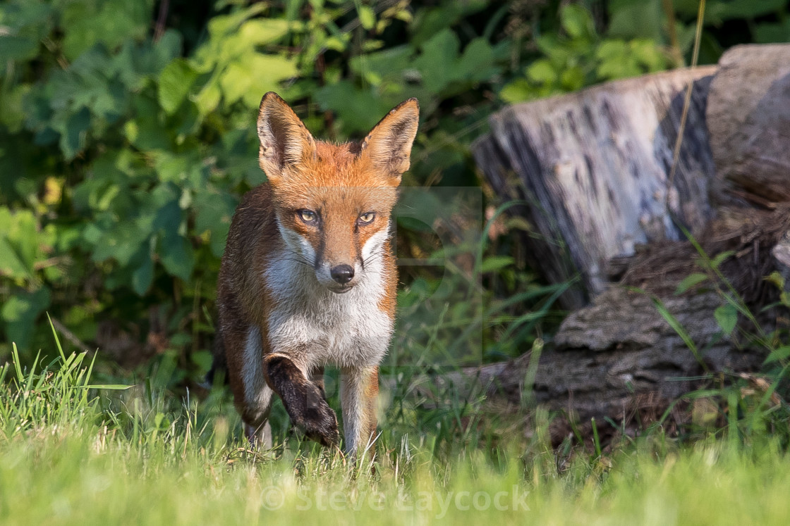 """Red fox (Vulpes vulpes) , cub"" stock image"